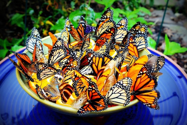 photo_papillons